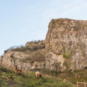 Soay sheep at Cheddar Gorge